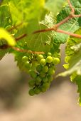 image of grape-vine  - Closeup of Green Grapes at a vineyard in South Australia - JPG