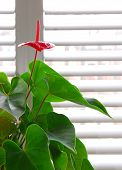 pic of plant pot  - Flowering house plant in a pot and glass wall with blinds - JPG