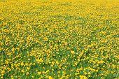 stock photo of feedlot  - blooming dandelion on green meadow in springtime  - JPG