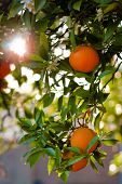 foto of orange-tree  - Ripe Oranges On A Tree Close - JPG