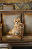 a cute dog smiles while on a leather chair. Cute small dog relaxes on a brown leather chair and smil poster