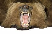 stock photo of taxidermy  - Taxidermy rug of a grissly bear with jaw open - JPG