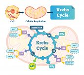Krebs Cycle Vector Illustration. Citric Tricarboxylic Acid Labeled Scheme. Educational Diagram With  poster
