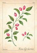 Rose Hips Berries Isolated. Watercolor Rose Hip Berries Vector Illustration. Isolated Rose Hip Berri poster