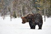 Big Brown Bear Photographed In Late Winter While Walking In Snow In The Finnish Taiga Under A Heavy  poster