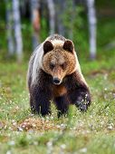 Beautiful Brown Bear Photographed In The Finnidh Taiga In Late Spring poster