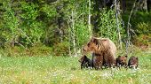 Mother Bear Protects Her Three Little Puppies In The Finnish Taiga. poster