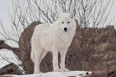 Wild Alaskan Tundra Wolf Is Looking At The Camera. Canis Lupus Arctos. Polar Wolf Or White Wolf. poster