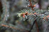 Fir Branches Close-up. Little Trick. Fluffy Fir Twigs Close-up. poster