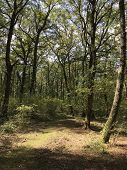 The Forest Of Manziana, A Large Wooded Area In The Province Of Rome, Where The Dominant Species Is T poster