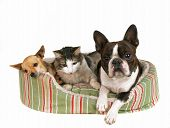 picture of chihuahua mix  - two dogs and a kitten in a pet bed - JPG