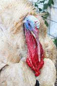 stock photo of turkey-cock  - Ugly turkey - JPG