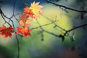 Autumn maple leaves,closeup.