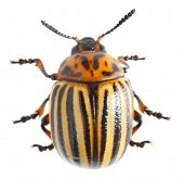 The Colorado potato beetle (Leptinotarsa decemlineata) is a serious pest of potatoes,  tomatoes and