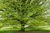 image of temperance  - Fresh Hornbeam tree sprouting at spring - JPG