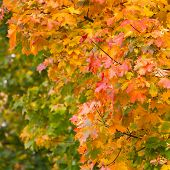 Yellow autumnal maple leaves background