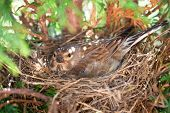 pic of egg-laying  - Small Common Linnet bird laying eggs in the nest - JPG