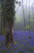 stock photo of harebell  - Beautiful carpet of bluebell flowers in misty Spring forest landscape - JPG