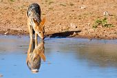 pic of jackal  - Jackal drinking water in desert with reflection - JPG