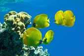 foto of butterfly fish  - Shoal of butterfly fish on the reef - JPG