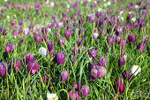 stock photo of snake-head  - Fritillaria meleagris flowers of snake - JPG