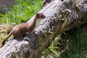 image of ermine  - Stoat (Mustela erminea) standing on a log hunting for food
