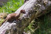 picture of ermine  - Stoat (Mustela erminea) standing on a log hunting for food