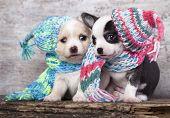 pic of chiwawa  - puppy wearing a knit hat - JPG