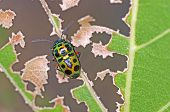 foto of shield-bug  - jewel bug or metallic shield bug on the degraded leaf