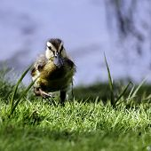 A Mallard Duckling (Anas platyrhynchos) in full flight.