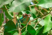 stock photo of chameleon  - A Chameleon relaxing on a sunny branch - JPG