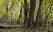 stock photo of alder-tree  - Group of old alder tree trunks in natural fres stand of Bialowieza Forest - JPG