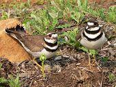 stock photo of killdeer  - killdeer with their eggs - JPG
