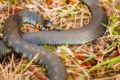 stock photo of snake-head  - Grass Snake  - JPG
