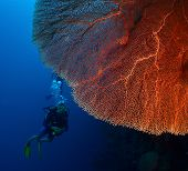 picture of bottomless  - Diver in the depth near the huge red coral - JPG
