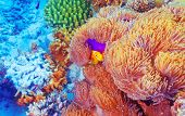 stock photo of clown fish  - Clown fish swimming near colorful corals - JPG