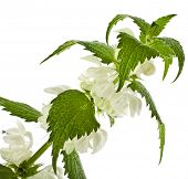 foto of nettle  - white dead - JPG