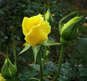 stock photo of yellow rose  - A yellow rose with raindrops on its leaves - JPG
