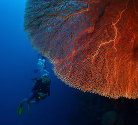 stock photo of bottomless  - Diver in the depth near the huge red coral - JPG