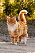 Ginger Furry Cat poster