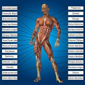 stock photo of male body anatomy  - Concept conceptual 3D human anatomy and muscle text on blue gradient background - JPG