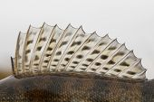 stock photo of fin  - Dorsal fin of a walleye  - JPG