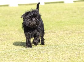 pic of cheeky  - A small young black Affenpinscher dog with a short shaggy wire coat walking on the grass - JPG