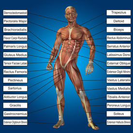 pic of triceps brachii  - Concept conceptual 3D human anatomy and muscle text on blue gradient background - JPG