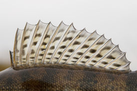 picture of fin  - Dorsal fin of a walleye  - JPG