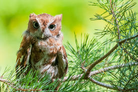picture of screech-owl  - A portrait of an Eastern Screech Owl. ** Note: Visible grain at 100%, best at smaller sizes - JPG