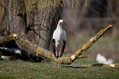 stock photo of grassland  - Funny white stork looking at camera on grassland - JPG