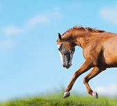 picture of wild horse running  - Wild horse runs close up against the field and sky - JPG