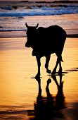 picture of sea cow  - Cow at sunset on tropical beach in Sri Lanka - JPG