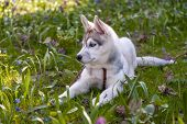 picture of siberian husky  - Portrait of puppy of the Siberian Husky on the background of green grass - JPG